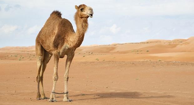 Zweites geklontes Kamel der Welt in Dubai geboren
